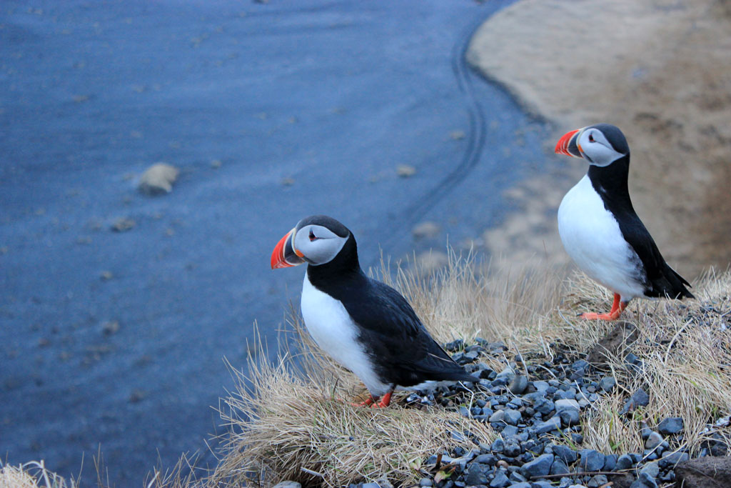 iceland-road-trip-puffins